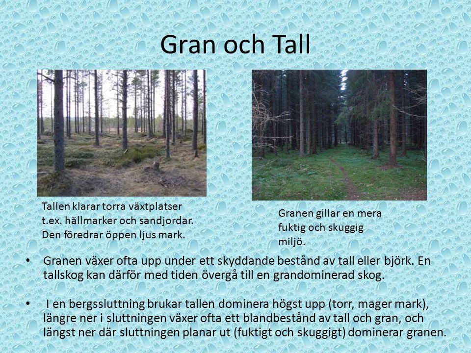 Gran och Tall Granen växer ofta upp under ett skyddande bestånd av tall eller björk. En tallskog kan därför med tiden övergå till en grandominerad sko