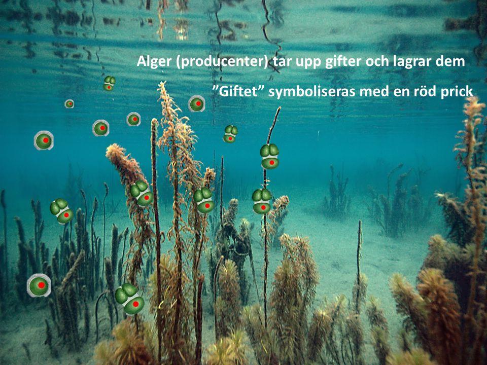 Ett gäng plankton sveper in och äter algerna Giftet lagras i organismerna