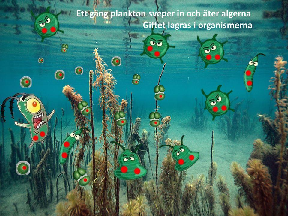 Småfiskar äter sedan dessa plankton Giftet anrikas och lagras i fiskarnas fettvävnader