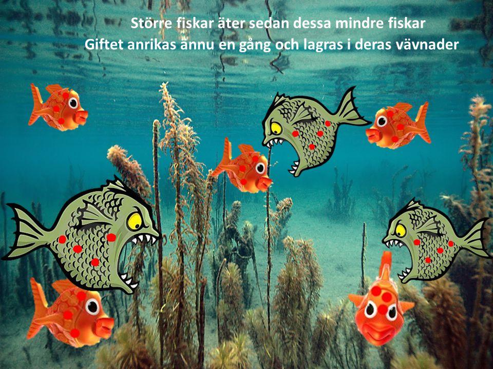 Större fiskar äter sedan dessa mindre fiskar Giftet anrikas ännu en gång och lagras i deras vävnader