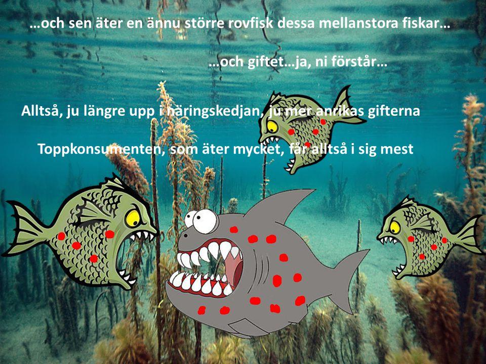 …och sen äter en ännu större rovfisk dessa mellanstora fiskar… …och giftet…ja, ni förstår… Alltså, ju längre upp i näringskedjan, ju mer anrikas gifterna Toppkonsumenten, som äter mycket, får alltså i sig mest