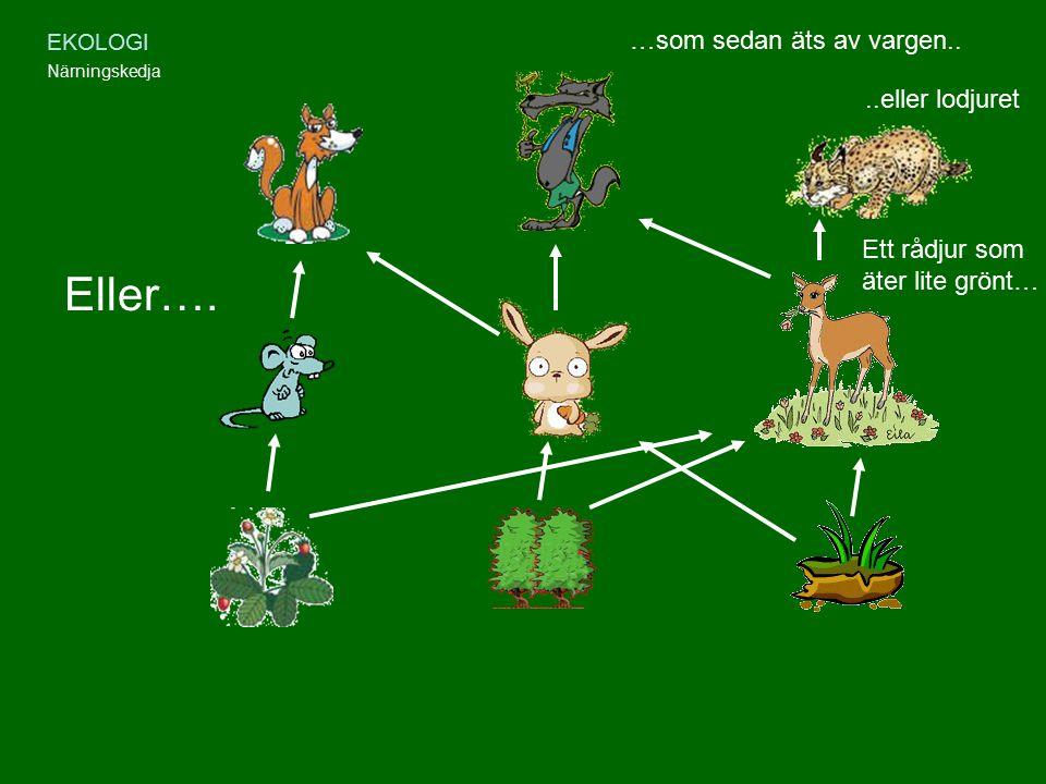 EKOLOGI Närningskedja Eller…. Ett rådjur som äter lite grönt… …som sedan äts av vargen....eller lodjuret