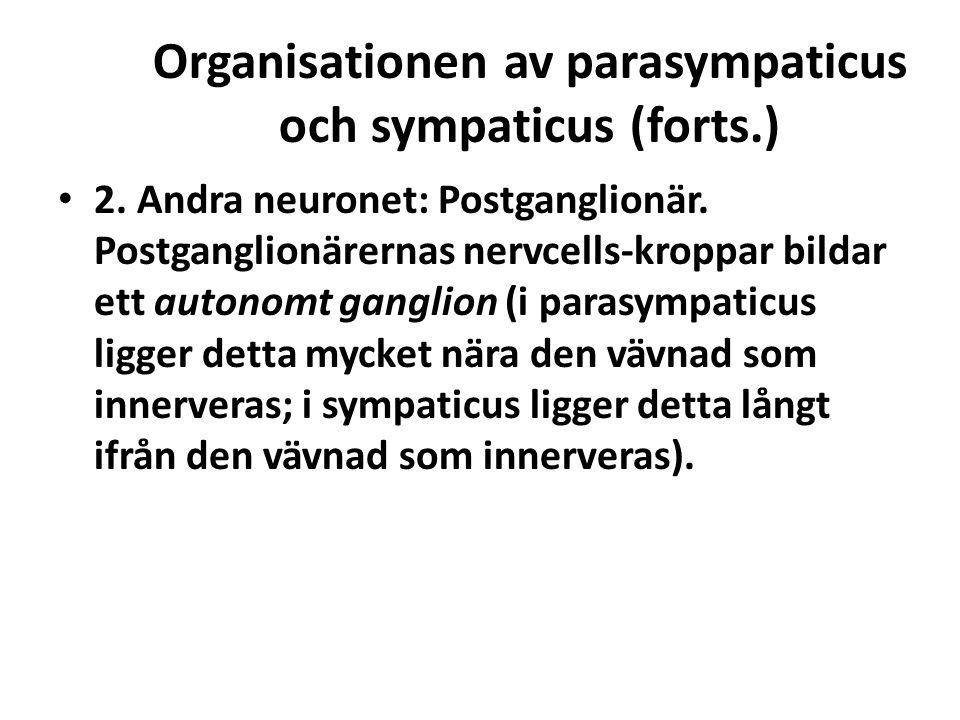 Organisationen av parasympaticus och sympaticus (forts.) 2. Andra neuronet: Postganglionär. Postganglionärernas nervcells-kroppar bildar ett autonomt