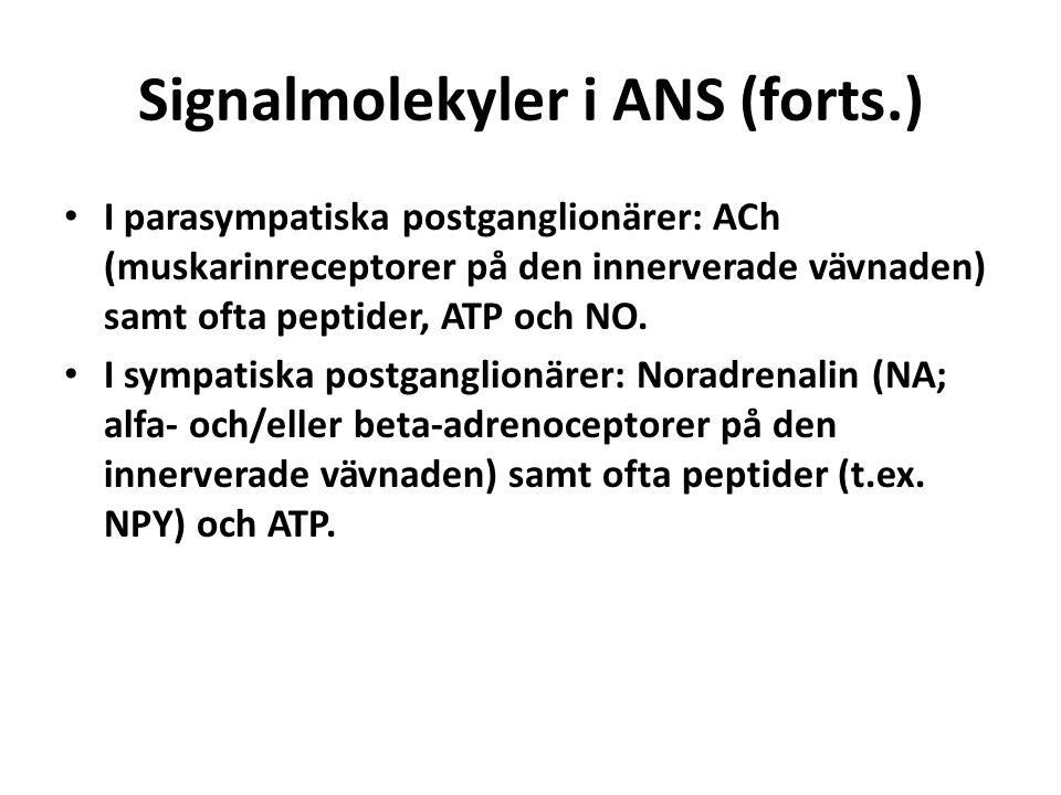 Signalmolekyler i ANS (forts.) I parasympatiska postganglionärer: ACh (muskarinreceptorer på den innerverade vävnaden) samt ofta peptider, ATP och NO.