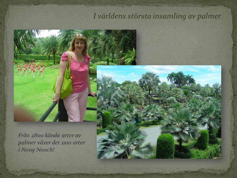 I världens största insamling av palmer Från 2800 kända arter av palmer växer det 1100 arter i Nong Nooch!
