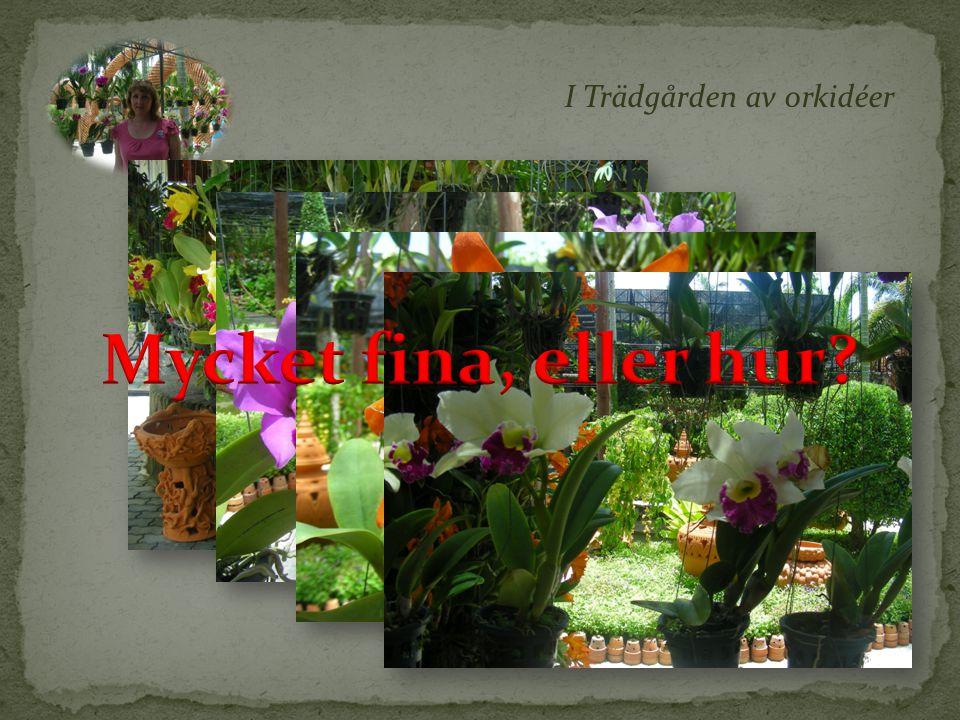I Trädgården av orkidéer