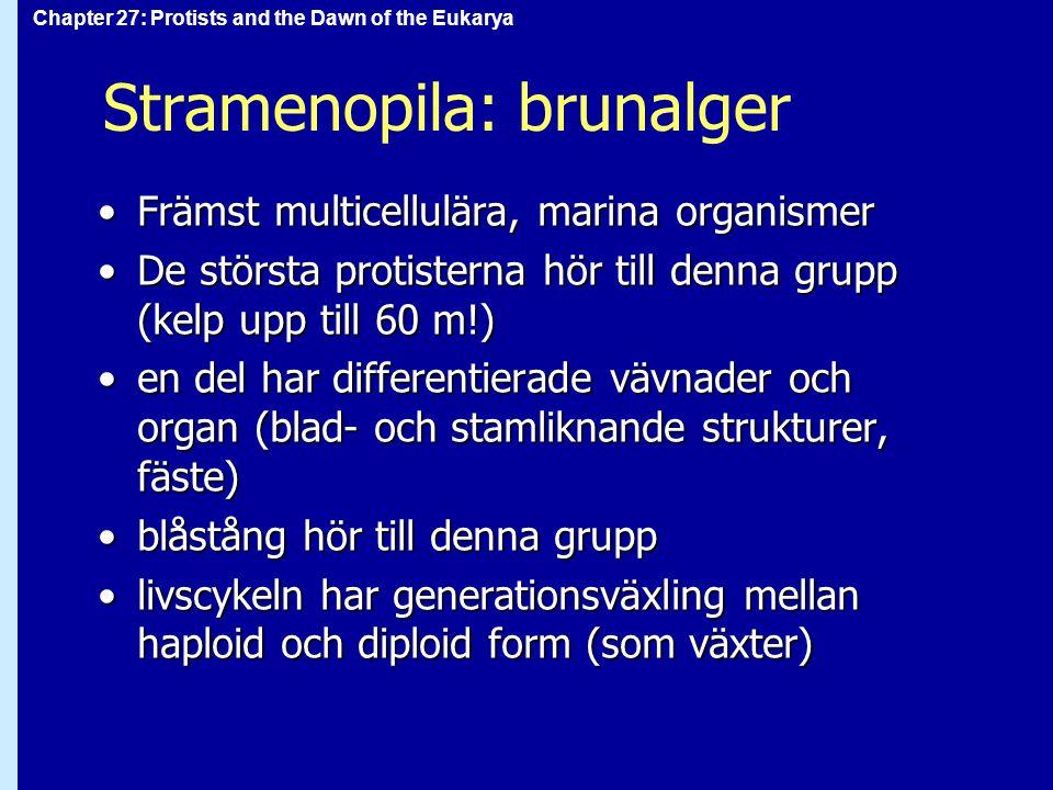 Stramenopila: brunalger Främst multicellulära, marina organismerFrämst multicellulära, marina organismer De största protisterna hör till denna grupp (