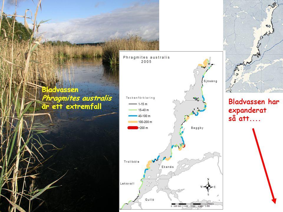 Bladvassen Phragmites australis är ett extremfall Bladvassen har expanderat så att....