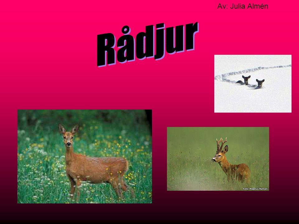 Rådjur är ett litet hjortdjur.Rådjuret kan väga upp till 20-30kg.