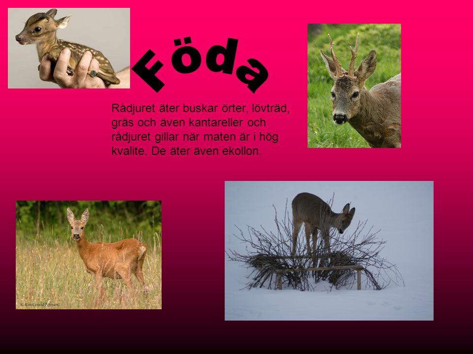 Rådjuret bor i första hand i skogen men ibland inne i stan.