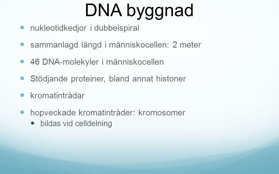 DNA byggnad nukleotidkedjor i dubbelspiral sammanlagd längd i människocellen: 2 meter 46 DNA-molekyler i människocellen Stödjande proteiner, bland annat histoner kromatintrådar hopveckade kromatintråder: kromosomer bildas vid celldelning
