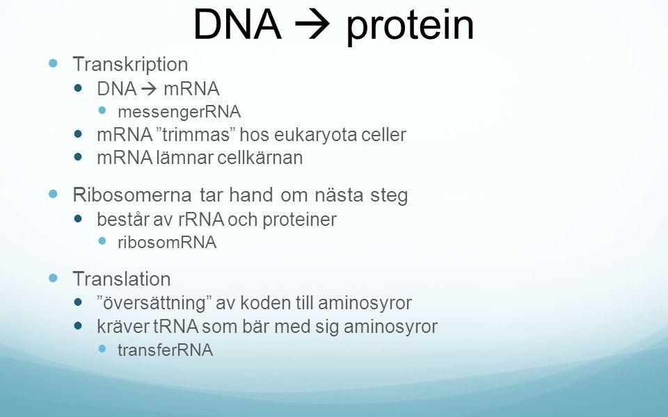 DNA  protein Transkription DNA  mRNA messengerRNA mRNA trimmas hos eukaryota celler mRNA lämnar cellkärnan Ribosomerna tar hand om nästa steg består av rRNA och proteiner ribosomRNA Translation översättning av koden till aminosyror kräver tRNA som bär med sig aminosyror transferRNA