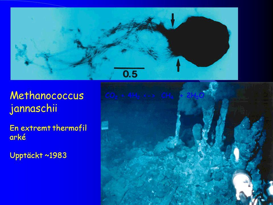 Methanococcus jannaschii En extremt thermofil arké Upptäckt ~1983 CO 2 + 4H 2 CH 4 + 2H 2 O