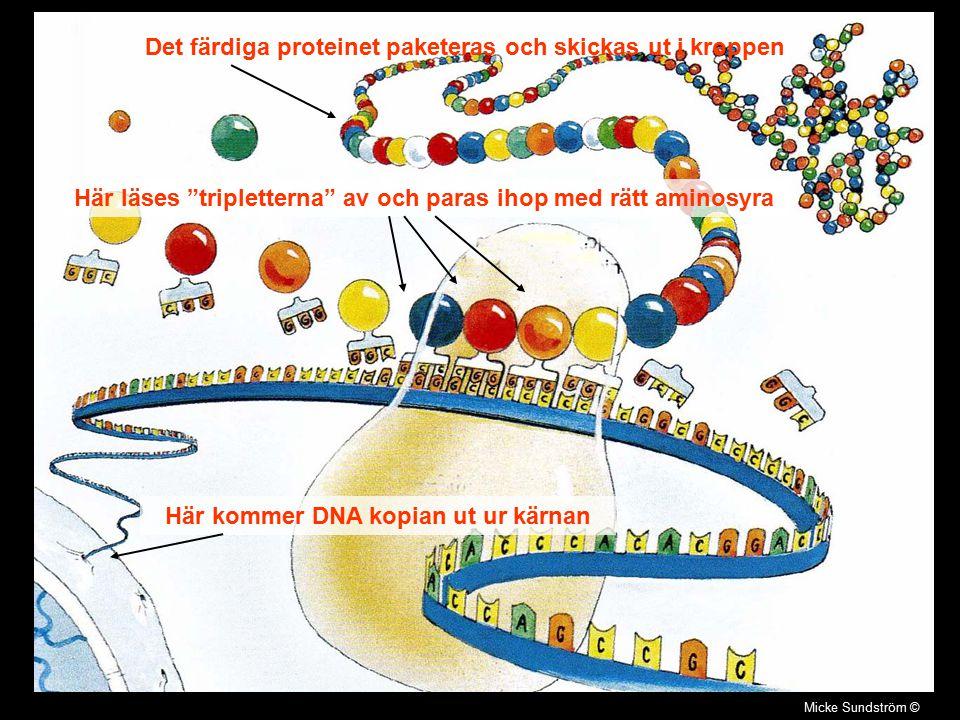 """Micke Sundström © Här kommer DNA kopian ut ur kärnan Här läses """"tripletterna"""" av och paras ihop med rätt aminosyra Det färdiga proteinet paketeras och"""