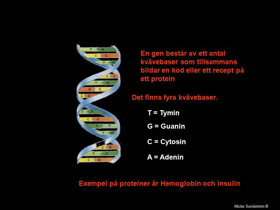 Micke Sundström © En gen består av ett antal kvävebaser som tillsammans bildar en kod eller ett recept på ett protein Exempel på proteiner är Hemoglob