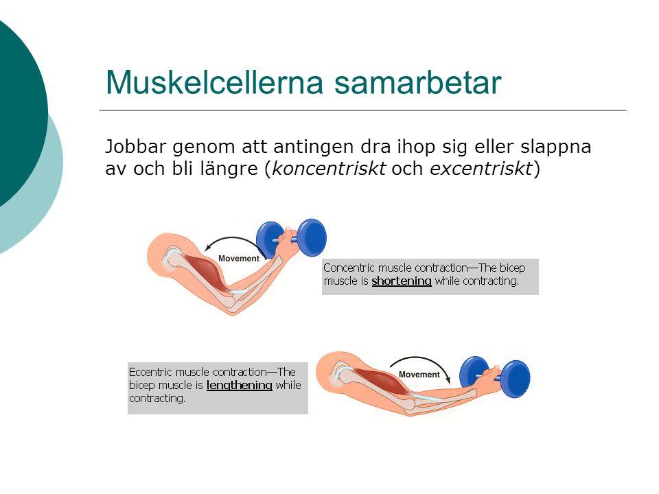Muskelcellerna samarbetar Jobbar genom att antingen dra ihop sig eller slappna av och bli längre (koncentriskt och excentriskt)