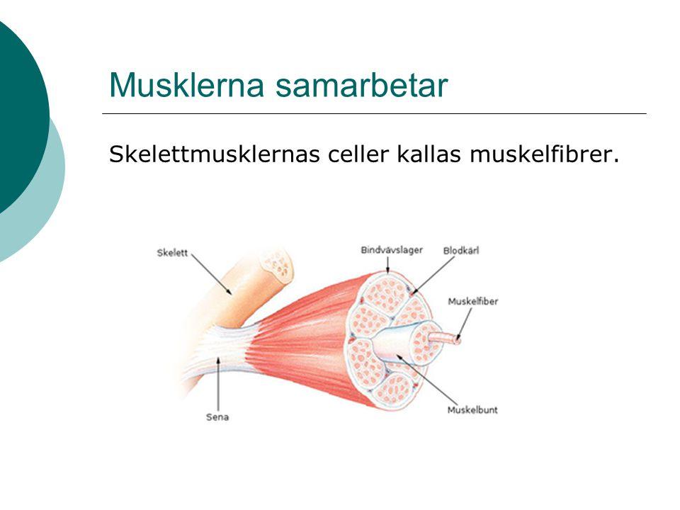 Musklerna samarbetar  Desto fler muskelceller som samarbetar desto större kraft kan utvecklas (ex.