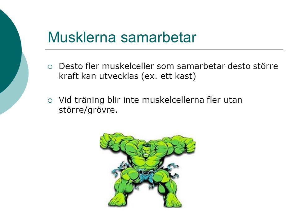 Musklerna samarbetar  Desto fler muskelceller som samarbetar desto större kraft kan utvecklas (ex. ett kast)  Vid träning blir inte muskelcellerna f