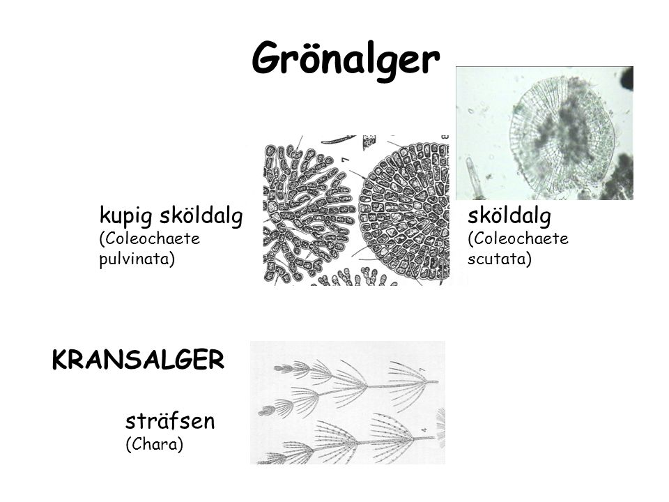 Blågrönalger nystvattenblom (Anabaena flos-aque) igelkottsalg (Gloeotrichia echinulata) nätvattenblom (Microcystis aeruginosa)