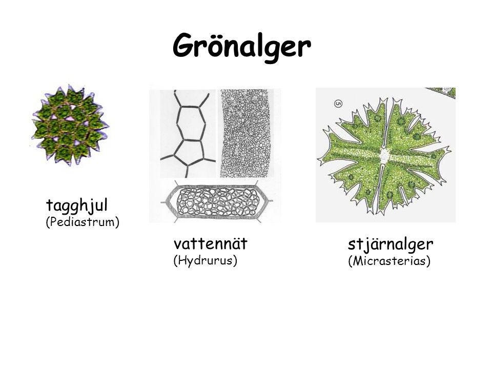 ringalg (Oedogonium) bulbalger (Bulbochaete) grönslick (Cladophora) Grönalger