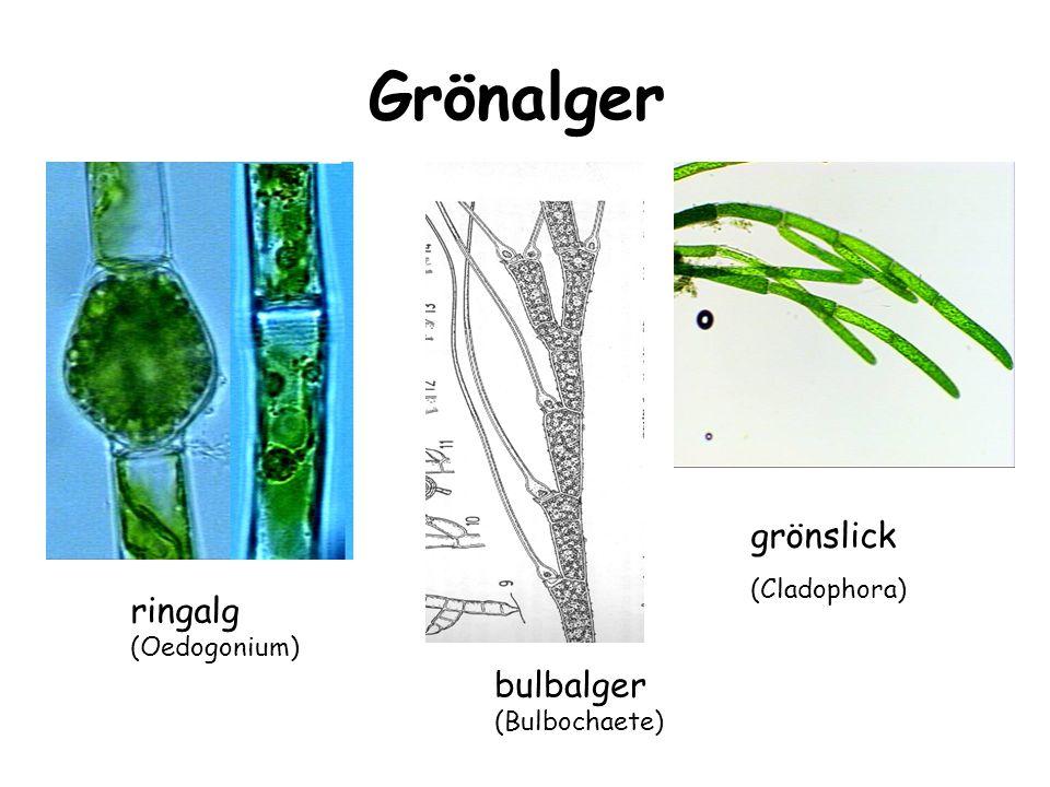 glänsande hårgelé (Chaetophora elegans) hjorthornsalg (Chaetophora incrassata) ärtalg (Chaetophora pisidum) vattenpensel (Draparnaldia) skivtofs (Stigeoclonium)