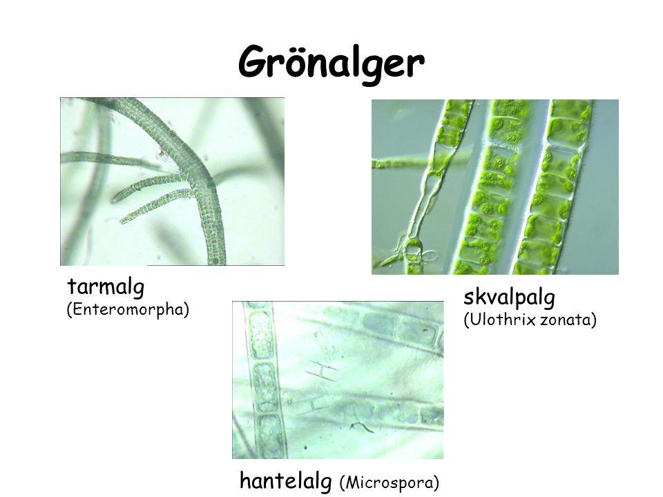 Grönalger Cosmarium Staurastrum månalg (Closterium)