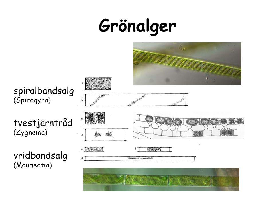 sträfsen (Chara) KRANSALGER Grönalger sköldalg (Coleochaete scutata) kupig sköldalg (Coleochaete pulvinata)