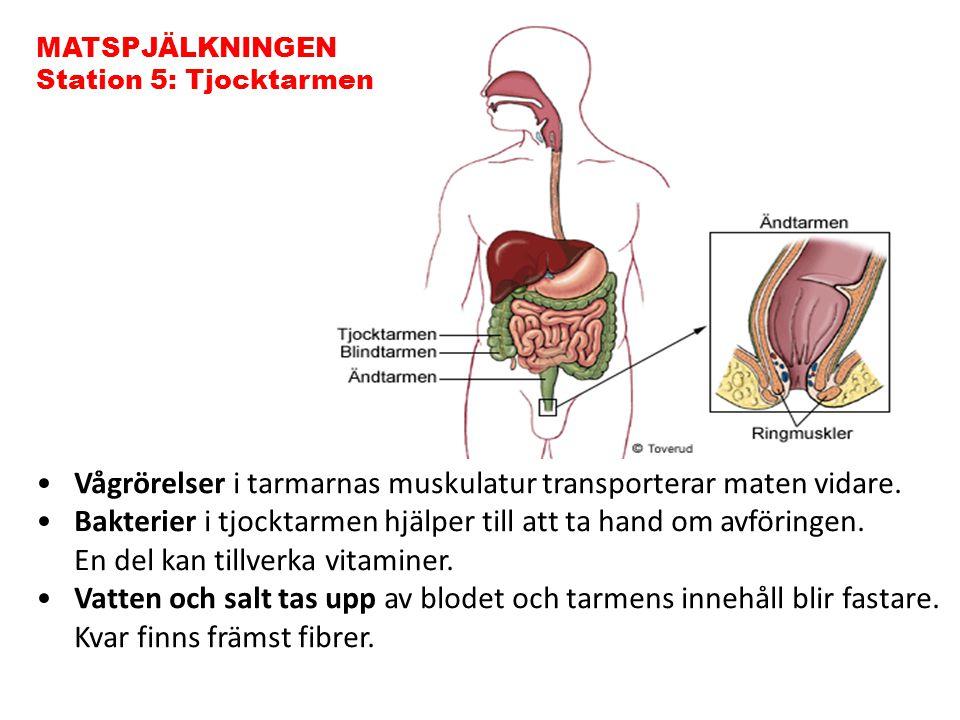 Vågrörelser i tarmarnas muskulatur transporterar maten vidare. Bakterier i tjocktarmen hjälper till att ta hand om avföringen. En del kan tillverka vi