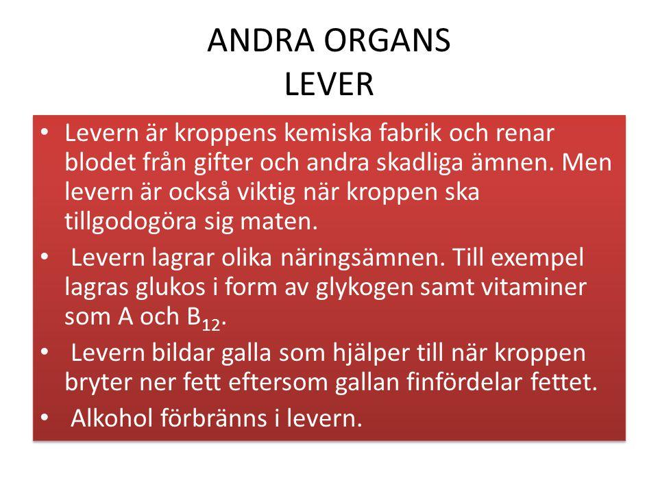 ANDRA ORGANS LEVER Levern är kroppens kemiska fabrik och renar blodet från gifter och andra skadliga ämnen.