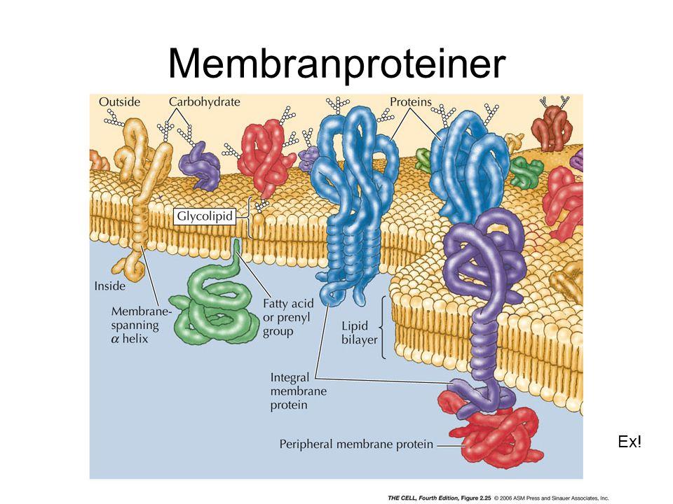 Membranproteiner Ex!