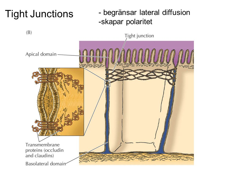 Tight Junctions - begränsar lateral diffusion -skapar polaritet