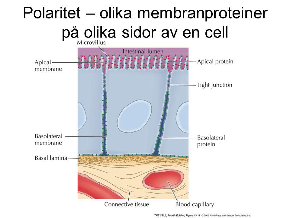 Polaritet – olika membranproteiner på olika sidor av en cell