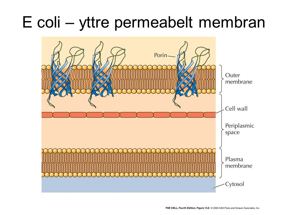 E coli – yttre permeabelt membran