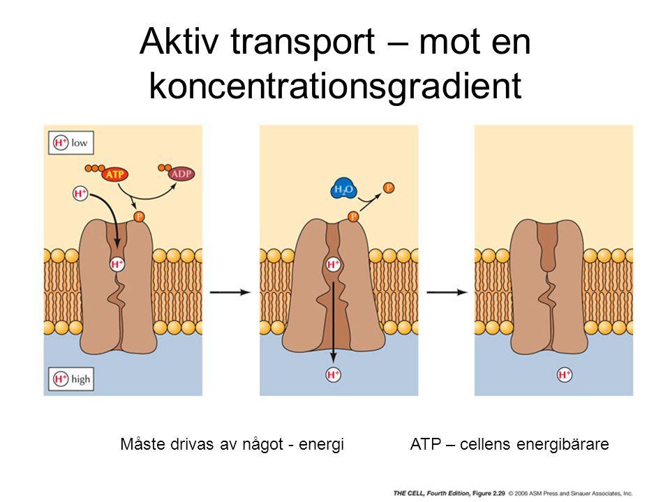 Aktiv transport – mot en koncentrationsgradient Måste drivas av något - energiATP – cellens energibärare