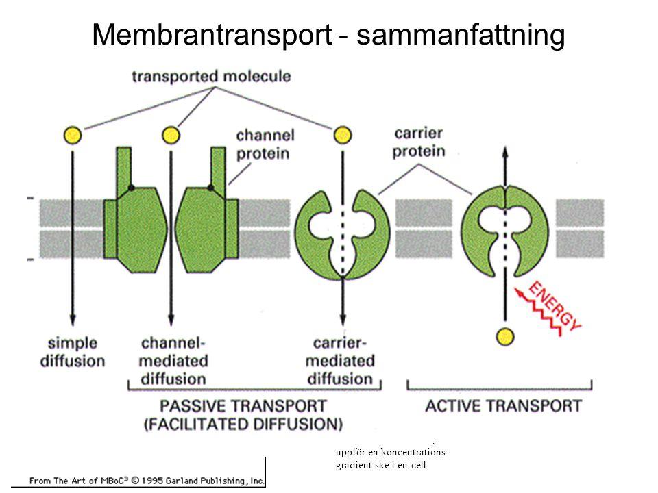 ? På vilka sätt kan transport uppför en koncentrations- gradient ske i en cell Membrantransport - sammanfattning