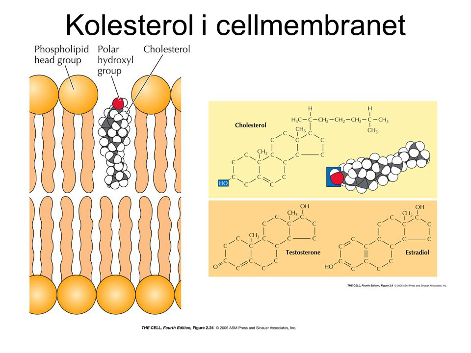 Membranproteiner - diffunderar lateralt i membranet - om inga fysiska hinder finns