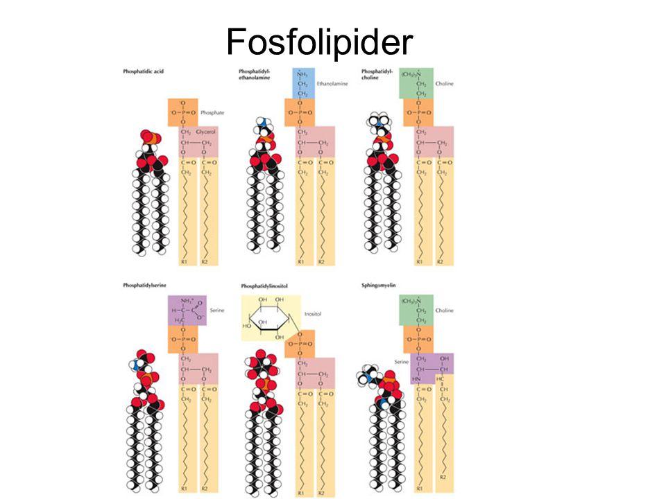 Fosfolipider