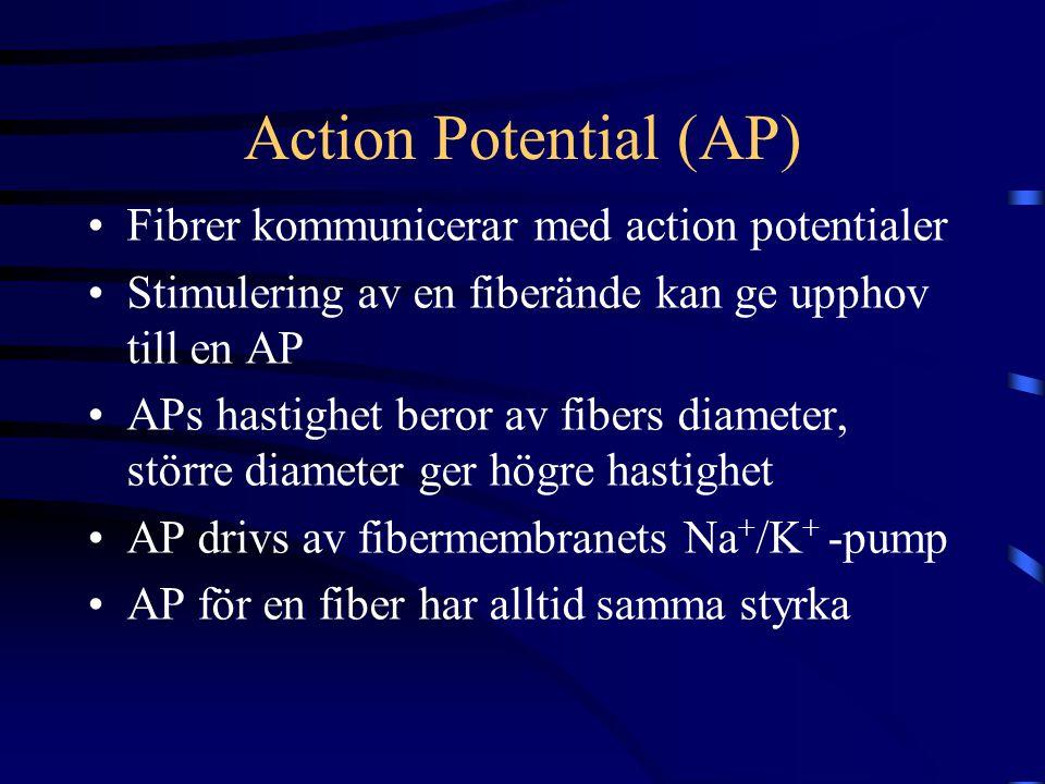 Action Potential (AP) Fibrer kommunicerar med action potentialer Stimulering av en fiberände kan ge upphov till en AP APs hastighet beror av fibers diameter, större diameter ger högre hastighet AP drivs av fibermembranets Na + /K + -pump AP för en fiber har alltid samma styrka
