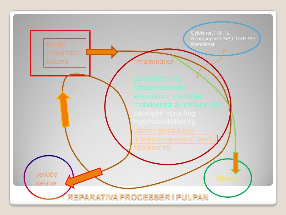 REPARATIVA PROCESSER I PULPAN Inflammation genomblödning kärlpermeabilitet exsudation, viskositet mobilisering av immunceller neurogen sprouting hyper