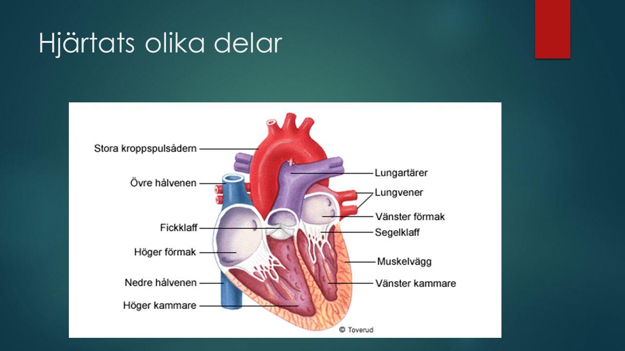 Hjärtats olika delar