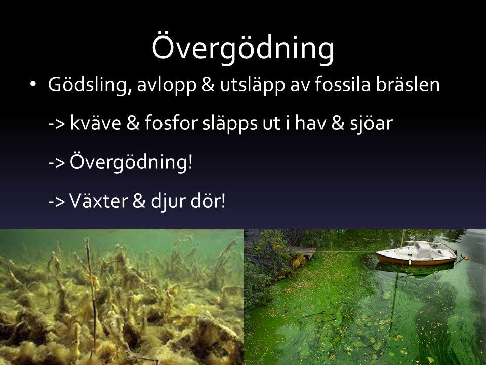 Effekterna av övergödning Kväve & fosfor tas upp först av alger & plankton Alger & plankton konkurrerar ut allt annat Alger skymmer solljuset för andra djur & växter Döda alger sjunker till botten & blir mat till bakterier => bakterierna blir för många & syret tar slut => bakterierna dör => fiskar & andra djur dör