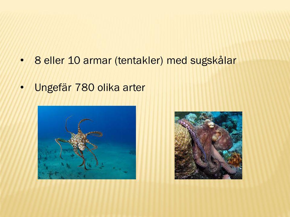 8 eller 10 armar (tentakler) med sugskålar Ungefär 780 olika arter