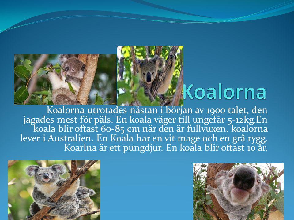 Koalorna utrotades nästan i början av 1900 talet, den jagades mest för päls.