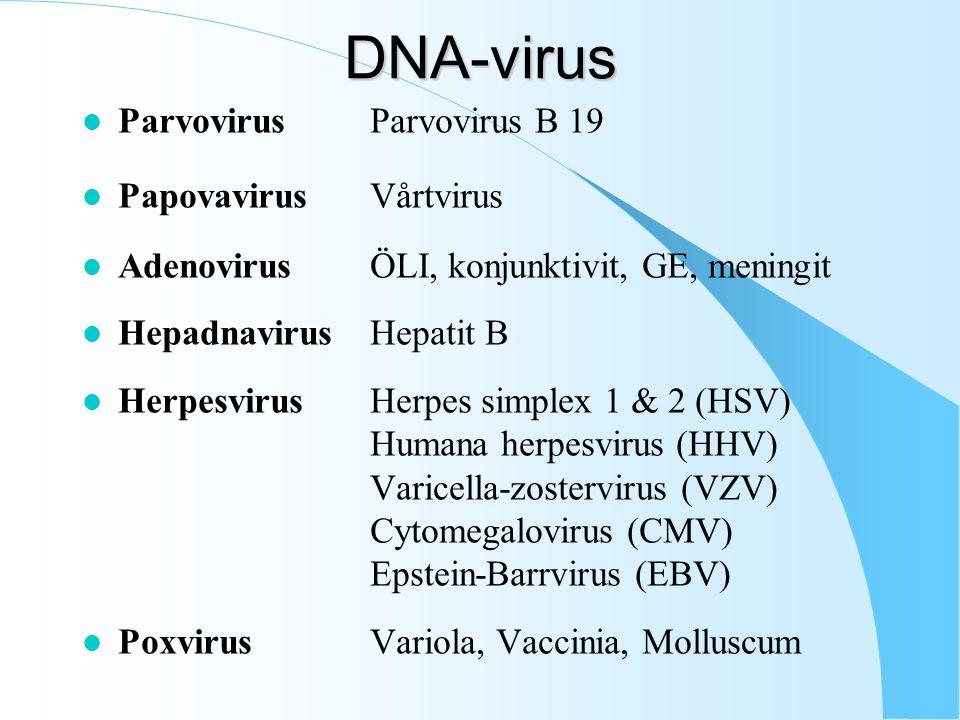 DNA-virus l ParvovirusParvovirus B 19 l PapovavirusVårtvirus l AdenovirusÖLI, konjunktivit, GE, meningit l HepadnavirusHepatit B l HerpesvirusHerpes simplex 1 & 2 (HSV) Humana herpesvirus (HHV) Varicella-zostervirus (VZV) Cytomegalovirus (CMV) Epstein-Barrvirus (EBV) l PoxvirusVariola, Vaccinia, Molluscum