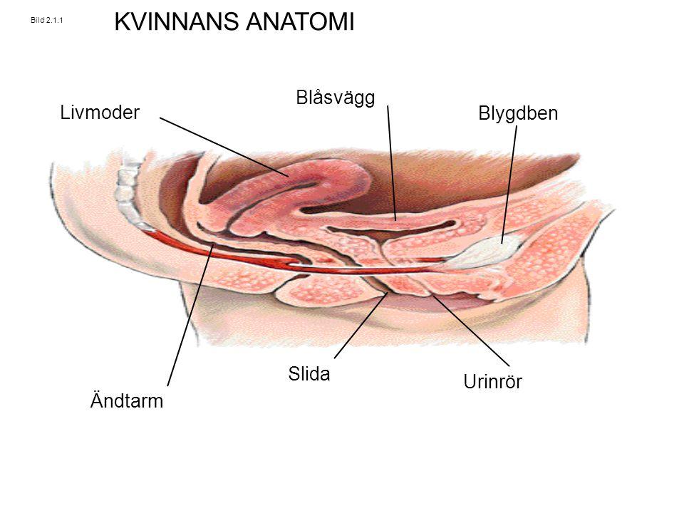 Bild 2.1.1 Livmoder Blåsvägg Blygdben Urinrör Slida Ändtarm KVINNANS ANATOMI