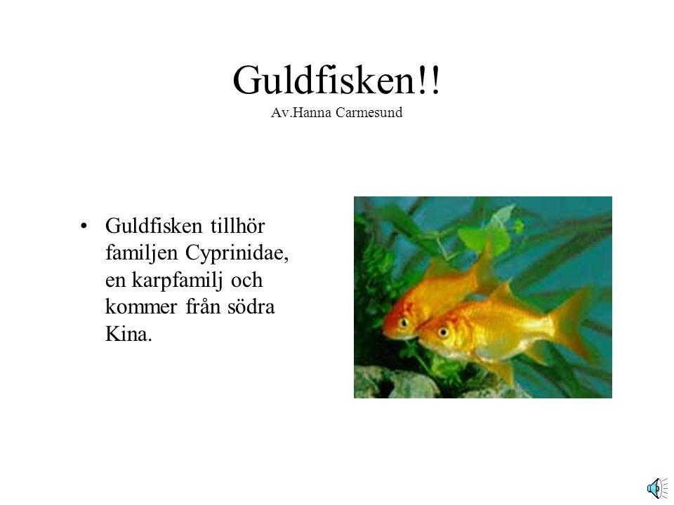 Guldfisken!.