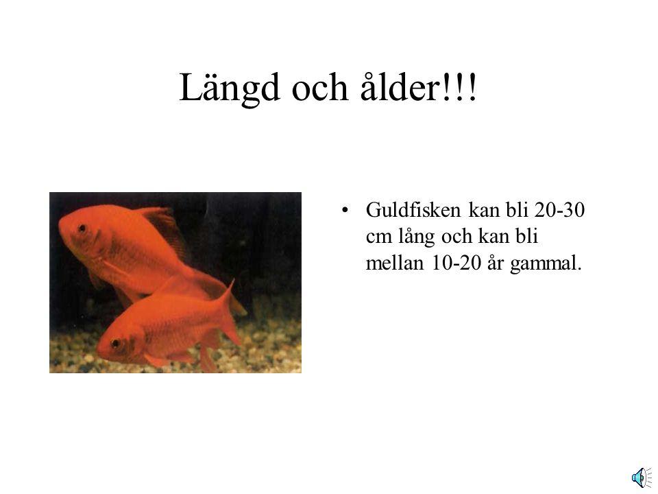 Guldfisken!! Av.Hanna Carmesund Guldfisken tillhör familjen Cyprinidae, en karpfamilj och kommer från södra Kina.
