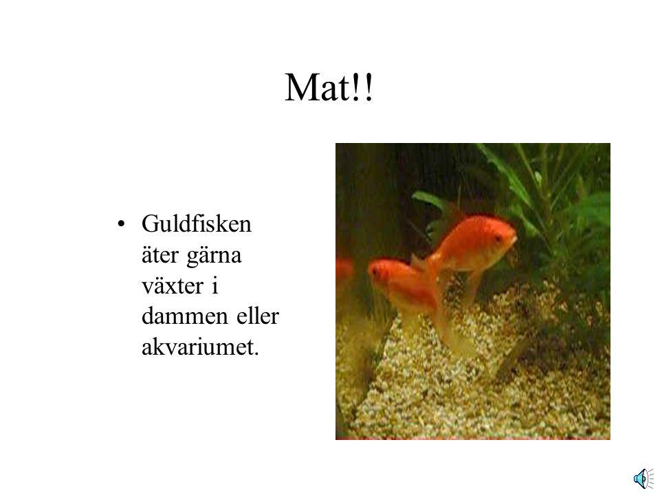 Mat!! Guldfisken äter gärna växter i dammen eller akvariumet.