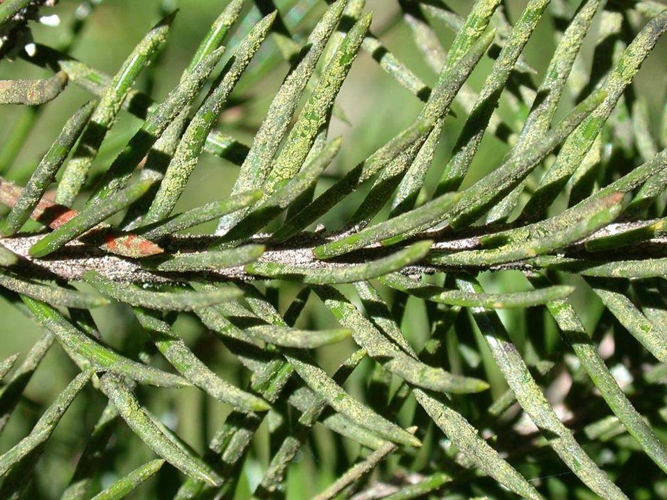 Trädgröna (grönalg) på granbarr