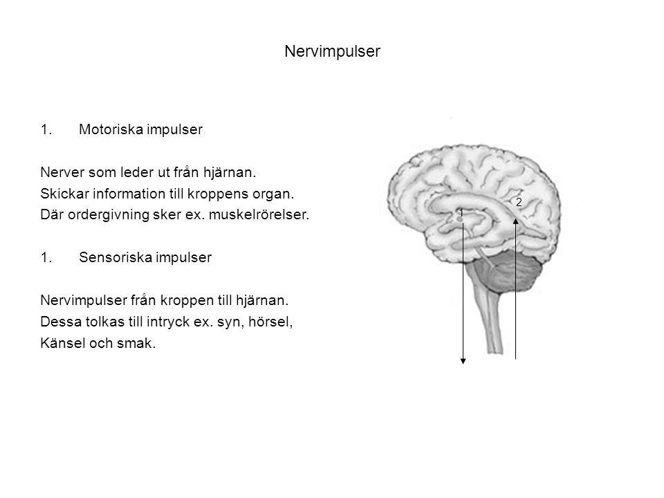 Nervimpulser 1.Motoriska impulser Nerver som leder ut från hjärnan. Skickar information till kroppens organ. Där ordergivning sker ex. muskelrörelser.